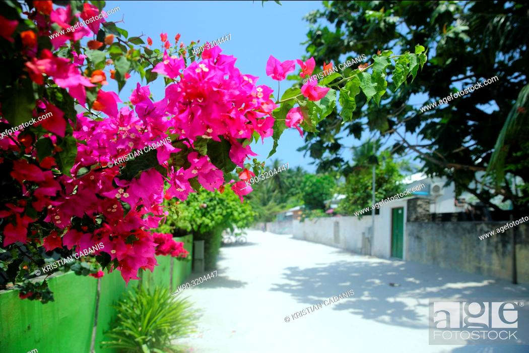 Stock Photo: Streetscene in Dharavandhoo with Bougainville blossoming, Baa Atoll, Maldives, Indian Ocean, South Asia.