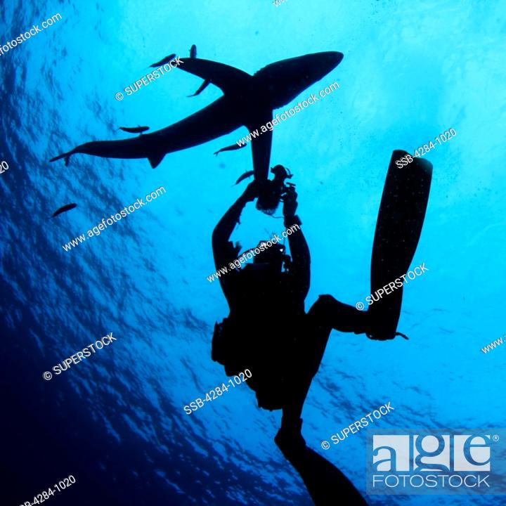 Stock Photo: Scuba diver underwater photographing a Blue shark Prionace glauca.