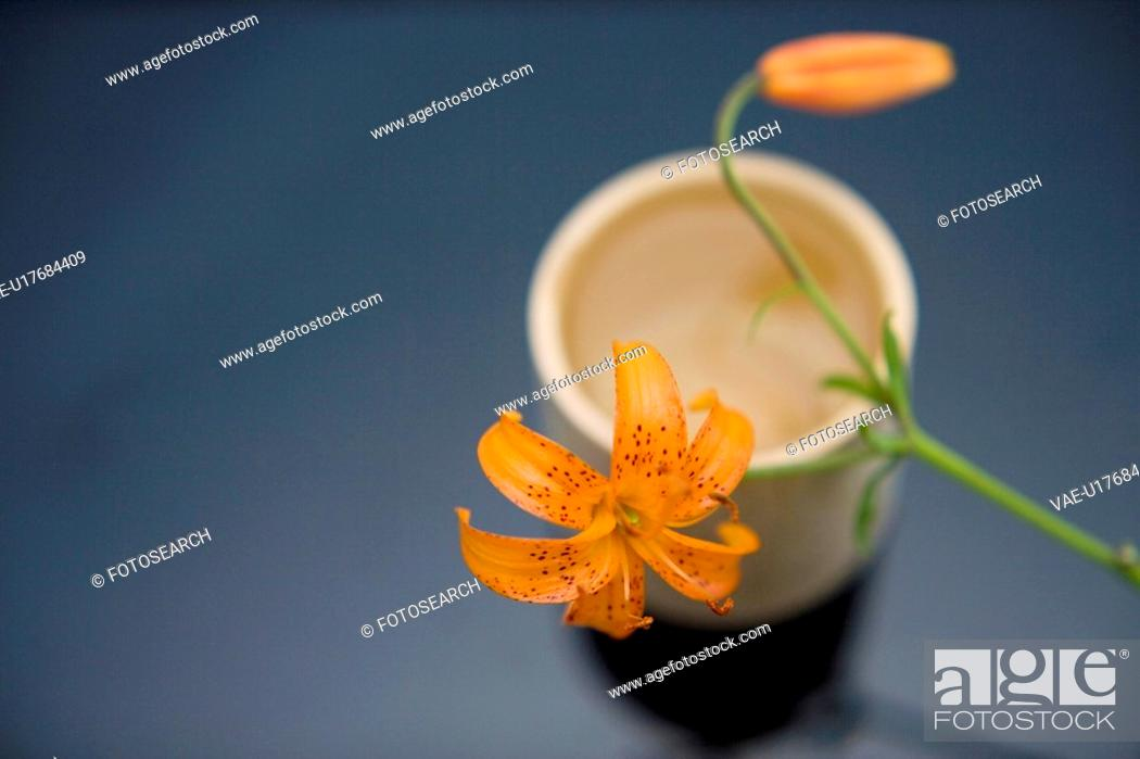 Stock Photo: Corylopsis pauciflora.