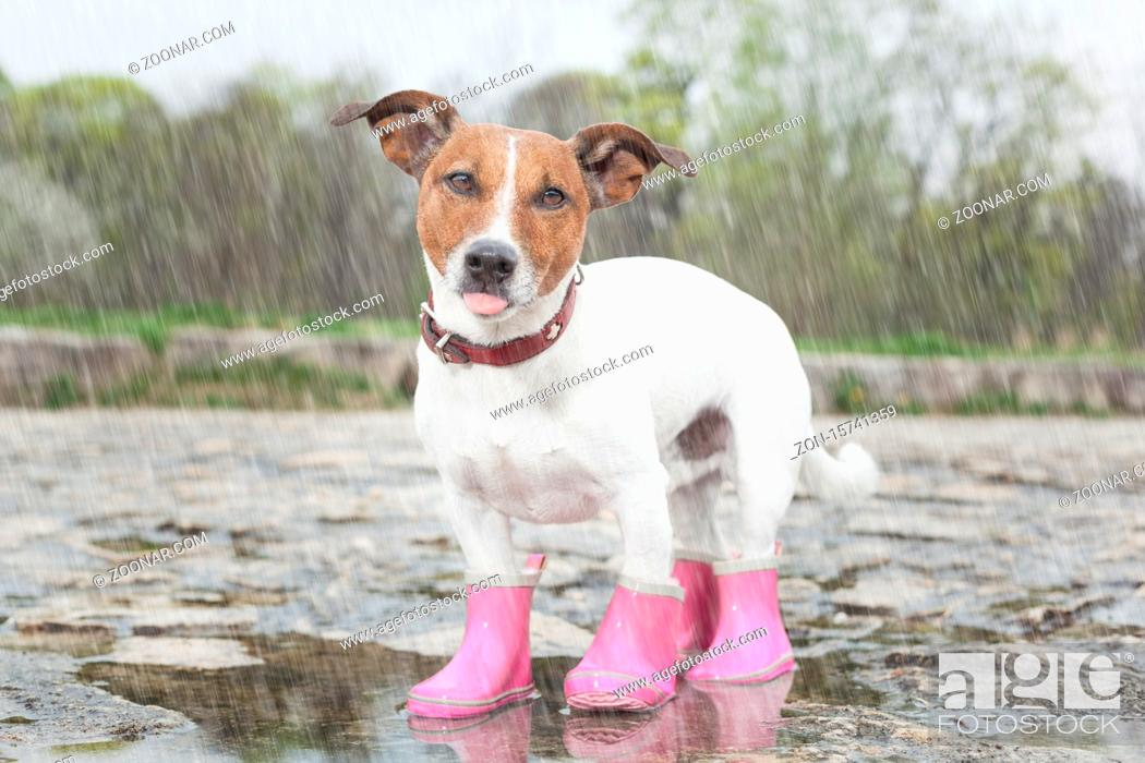 Stock Photo: dog wearing pink rubber boots inside a puddle sticking out the tongue.