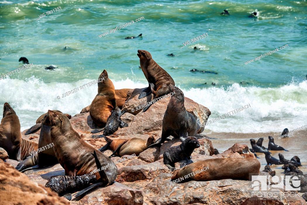 Stock Photo: colony of Brown fur seals, Arctocephalus pusillus, Cape Cross on the Skeleton Coast of Namibia, Africa - Skeleton Coast, Namibia, 28/02/2017.