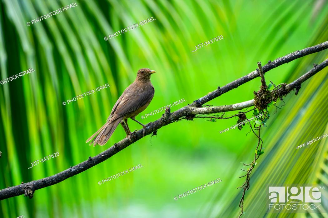 Stock Photo: The clay-colored thrush (Turdus grayi) is a common Middle American bird of the thrush family (Turdidae). It is the national bird of Costa Rica.