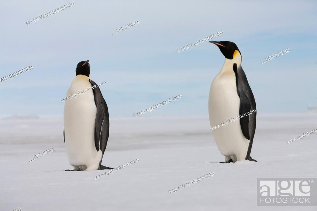 Stock Photo: The Marginal Ice Zone (MIZ) is a dynamic zone which can extend or shrink at a speed of 2km/hour The MIZ is marked by differences in species (particularly in.