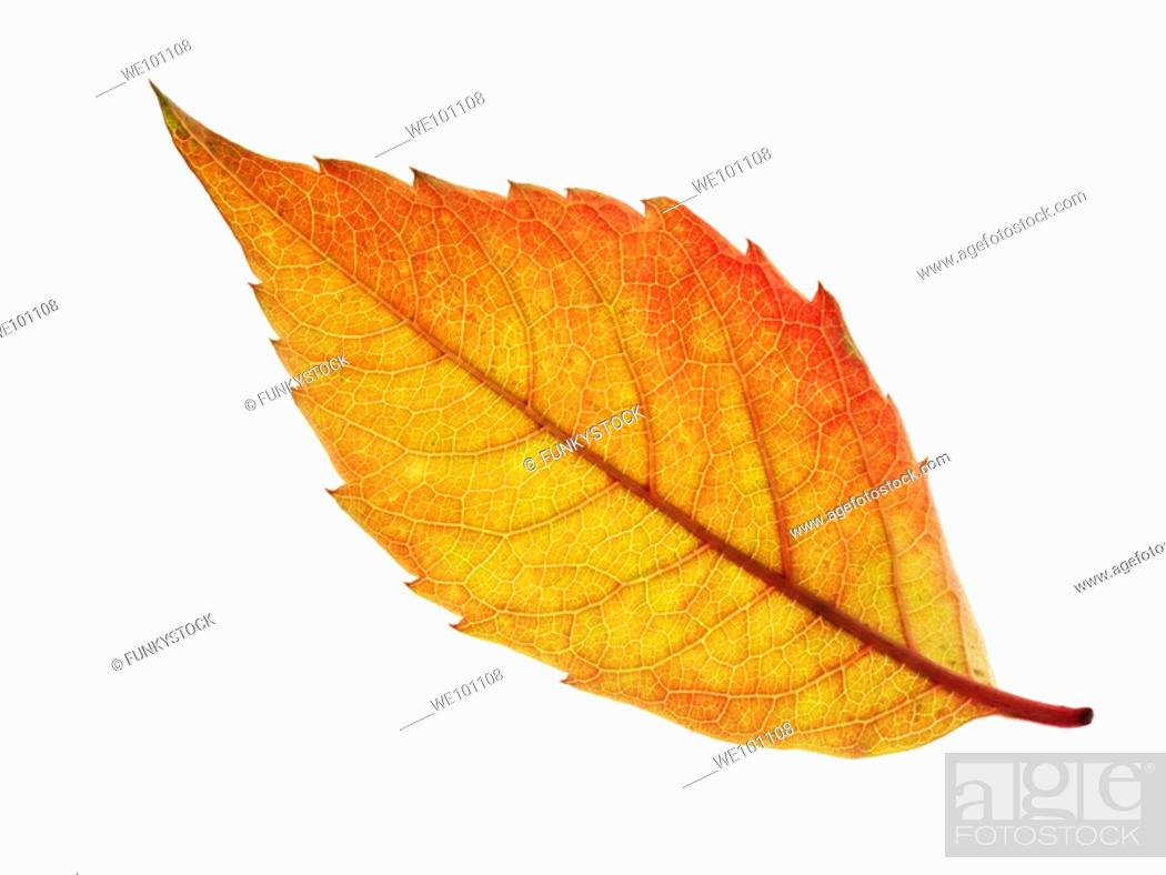 Stock Photo: Fallen Autumn Leaf - Brightly coloured laeves.