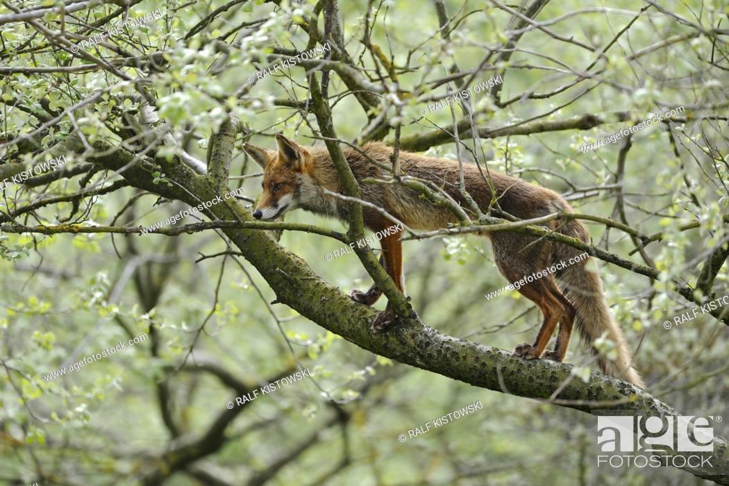 Stock Photo: Red Fox ( Vulpes vulpes ) climbing on a tree, extraordinary behaviour, perfectly adapted, wildlife, Europe.