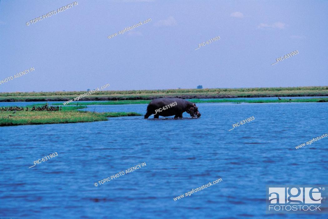 Stock Photo: Hippopotamus,Chobe National Park,Botswana,Africa.