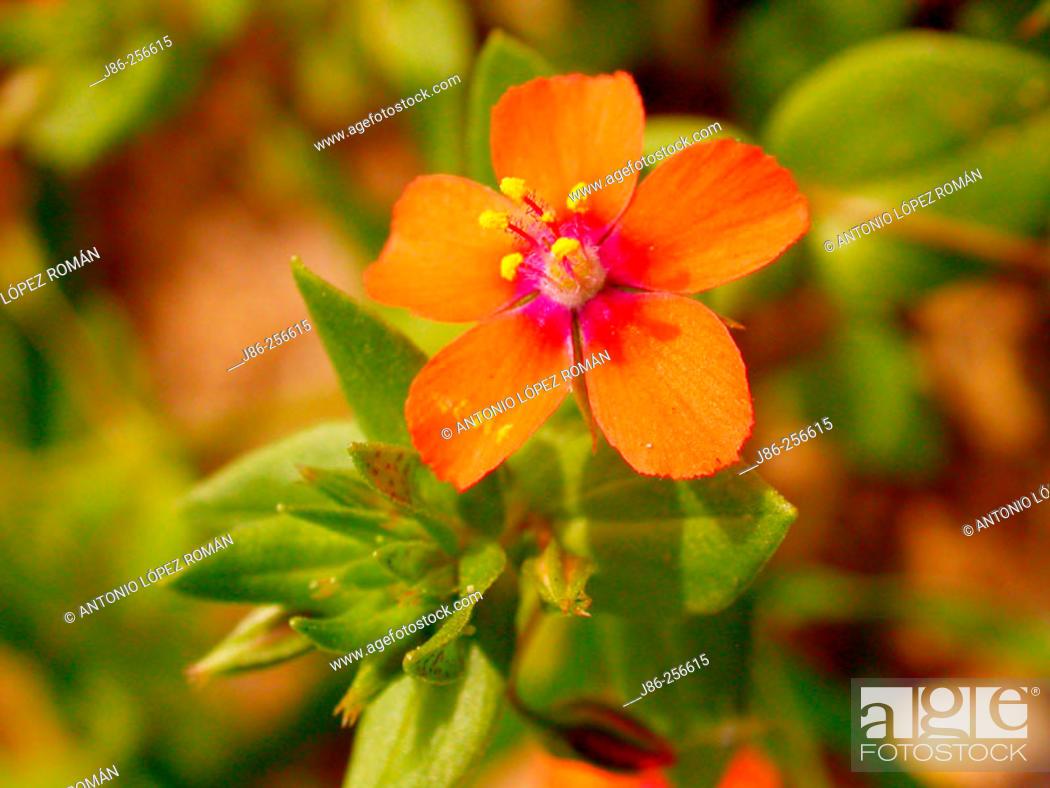 Stock Photo: Red Pimpernel (Anagallis arvensis).