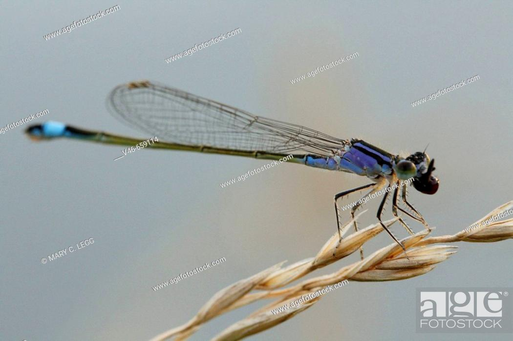 Stock Photo: Blue-tailed damselfly chomps down on freshly caught prey.