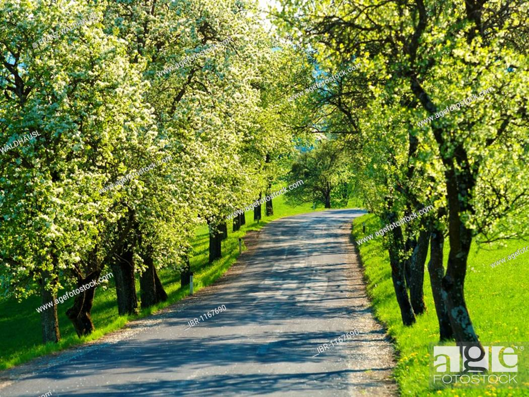 Pear Trees Tree Lined Road Bloom Windhag Mostviertel Region