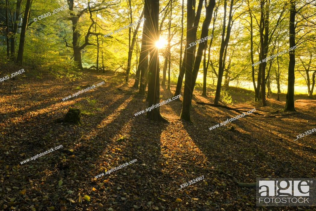 Stock Photo: Autumn sunrise in Beacon Hill Wood in the Mendip Hills, Somerset, England.