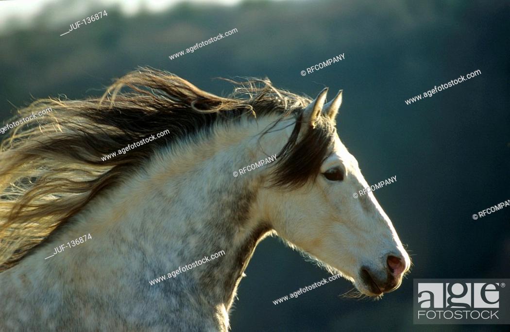 Stock Photo: Pure Spanish-bred - portrait.