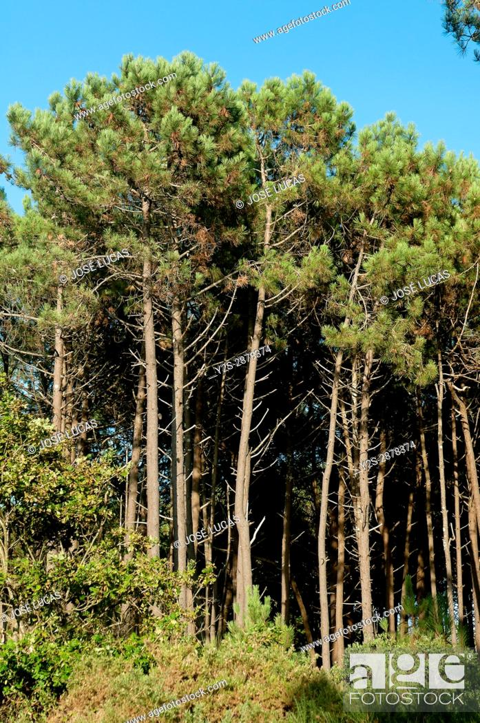 Stock Photo: Pine forest, Porto do Son, La Coruna province, Region of Galicia, Spain, Europe.