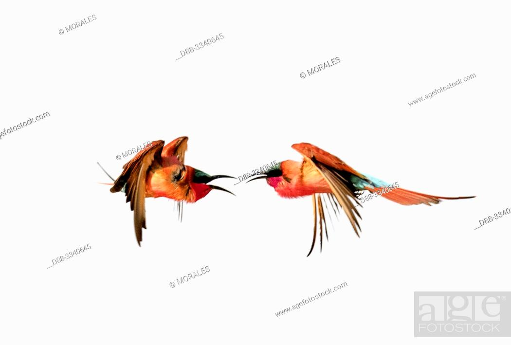 Stock Photo: Southern Carmine Bee-eater (Merops nubicoides) in flight, Zambezi River, Namibia, Africa.
