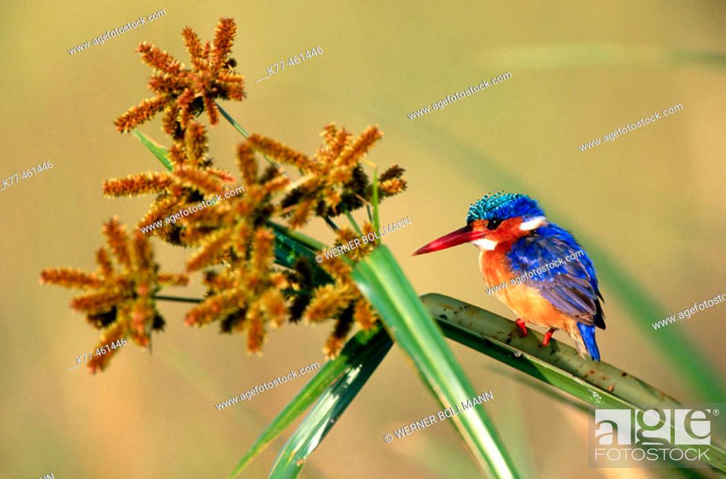 Stock Photo: Malachite Kingfisher (Alcedo cristata). Masai Mara Game Reserve. Kenya.