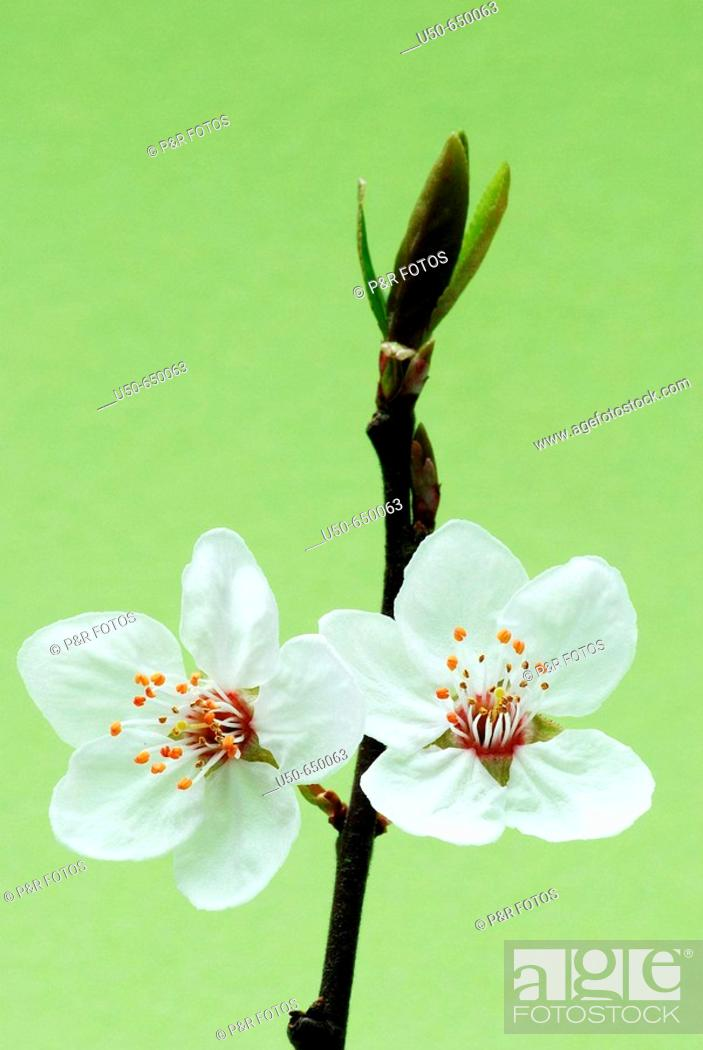 Stock Photo: Bird cherry flower, Prunus sp., Rosaceae.
