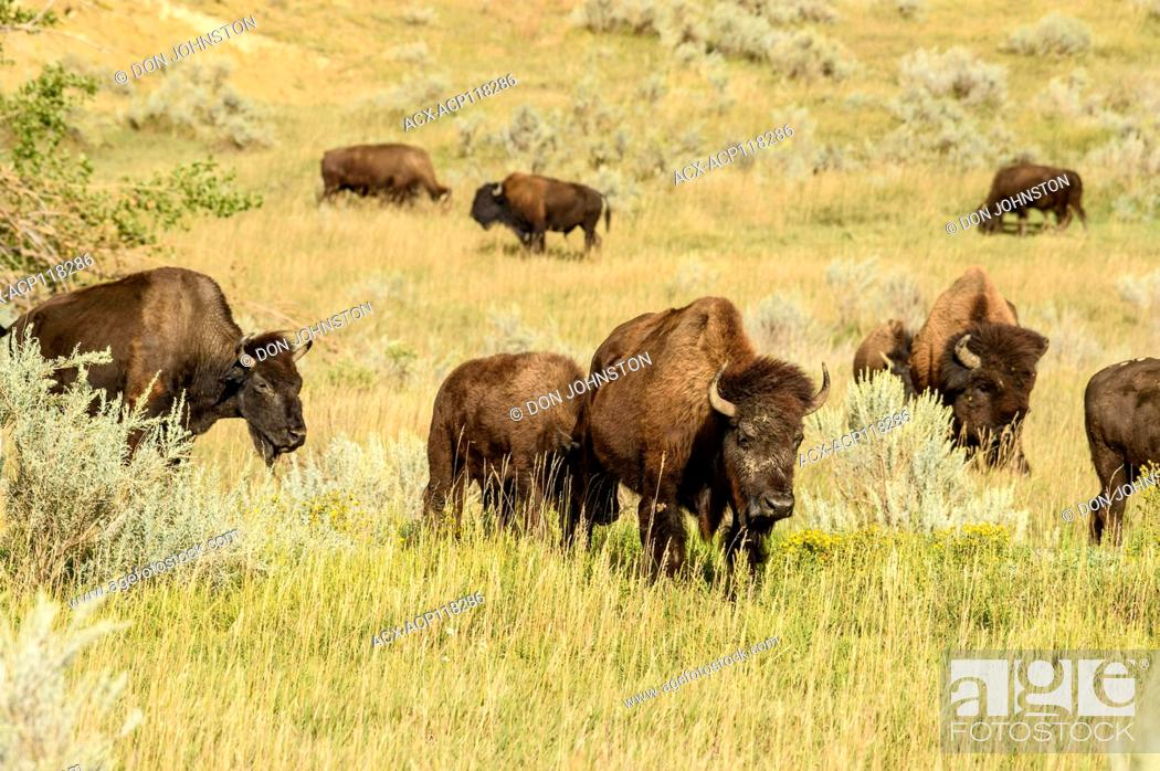 Stock Photo: Plains bison (Bison bison), Theodore Roosevelt NP (South Unit), North Dakota, USA.