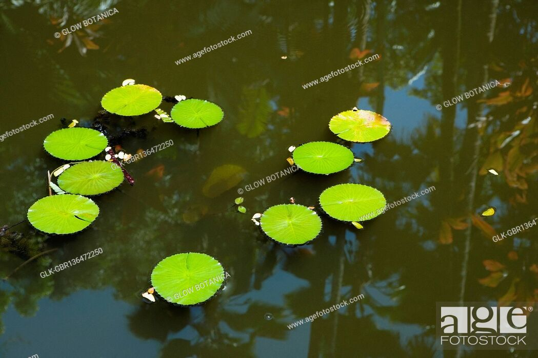 Stock Photo: Lily pads in a pond, Hawaii Tropical Botanical Garden, Hilo, Big Island, Hawaii, USA.