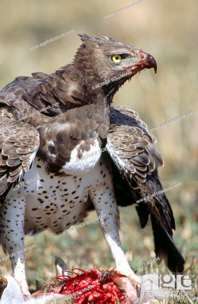 Stock Photo: Martial Eagle (Polemaetus bellicosus) with killed young of a Thomson's Gazelle. Masai Mara Game Reserve. Kenya.