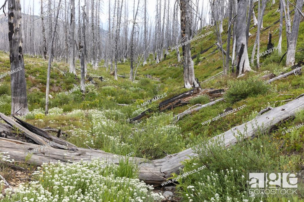 Stock Photo: A previously burnt subalpine forest rebounds in summer with lodgepole pine and a variety of wildflowers, yarrow, aster, arnica and corn lily.