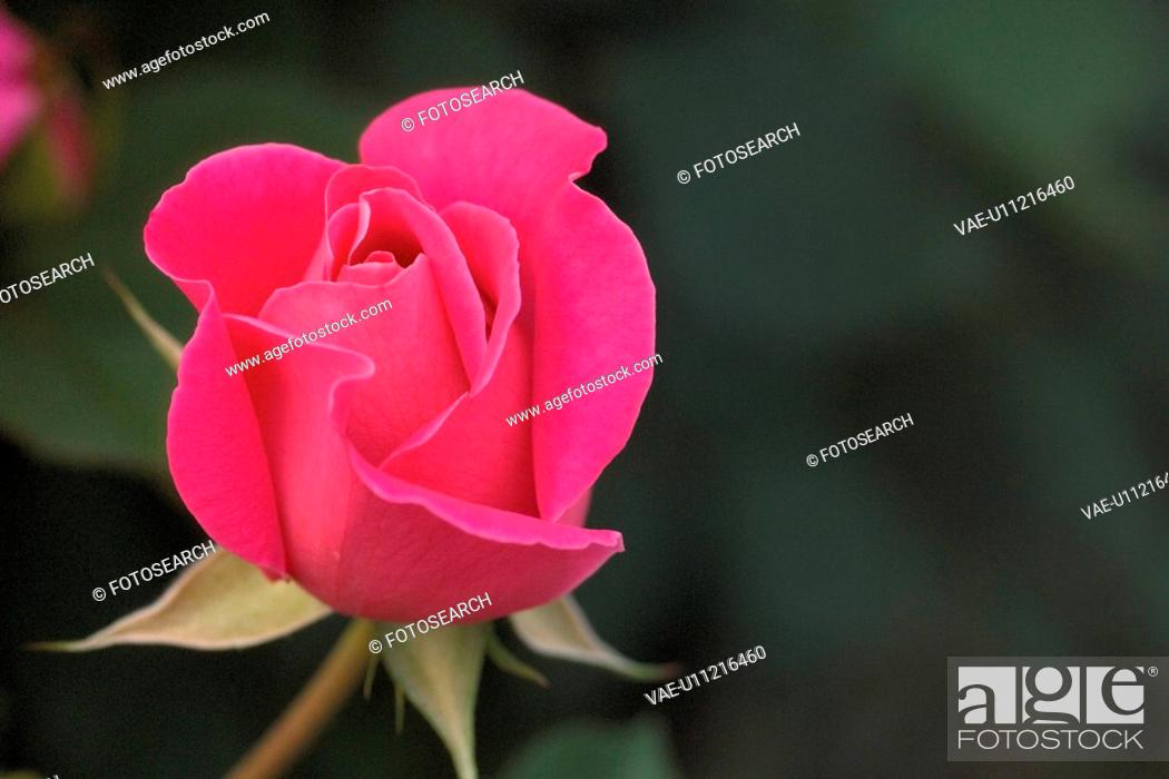 Stock Photo: flowers, plant, plants, rose, flower, bloom, nature.