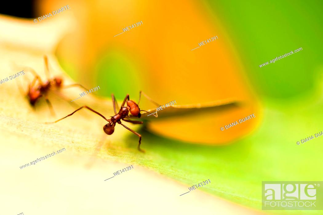 Imagen: 'Leaf-cutter Ant' (Atta cephalotes), use antibiotics, produced from strains of Streptomyces bacteria, to inhibit the growth of unwanted fungi.