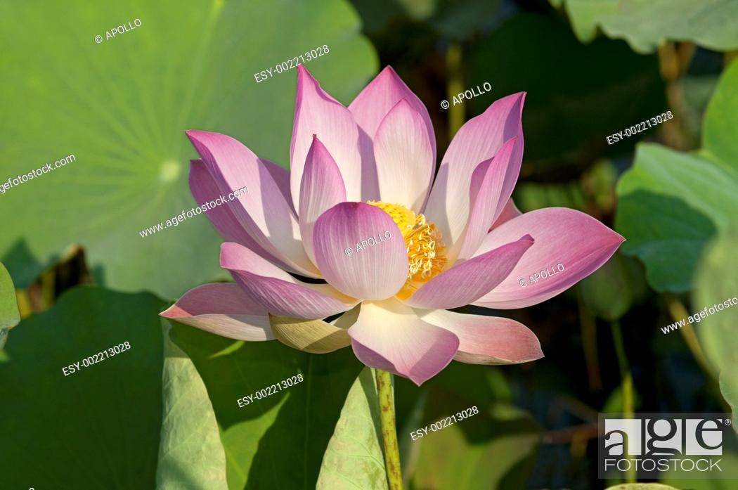 Stock Photo: Lotus flower, Nelumbo nucifera, Cambodia.