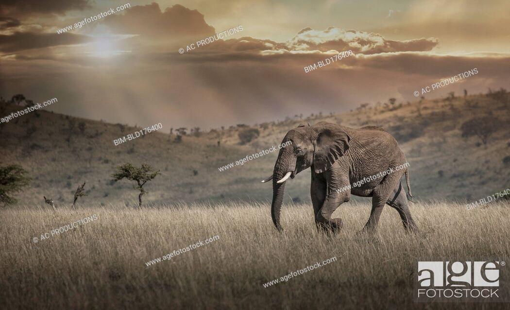 Stock Photo: Elephant grazing in savanna field.