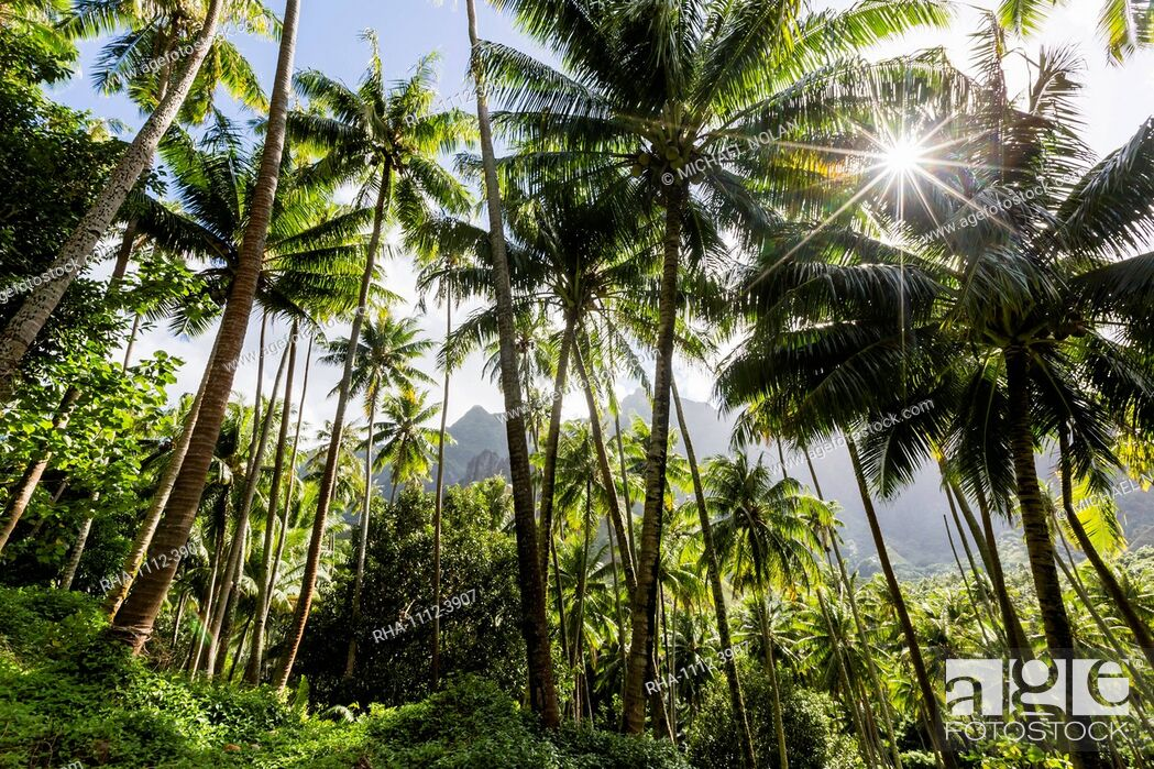 Stock Photo: Coconut trees surrounding the town of Hanavave, Fatu Hiva, Marquesas, French Polynesia, South Pacific, Pacific.