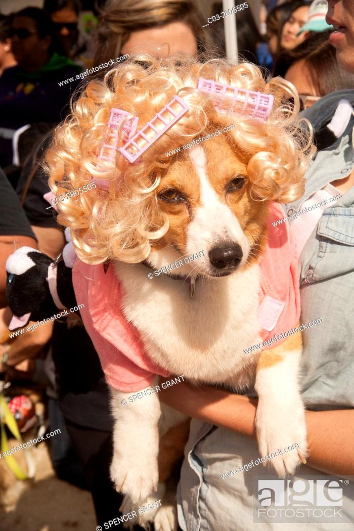 Stock Photo: A Welsh Corgi dog wears a blonde wig, curlers and a pinh dress at a Corgi dog festival on the sand in Huntington Beach, CA.