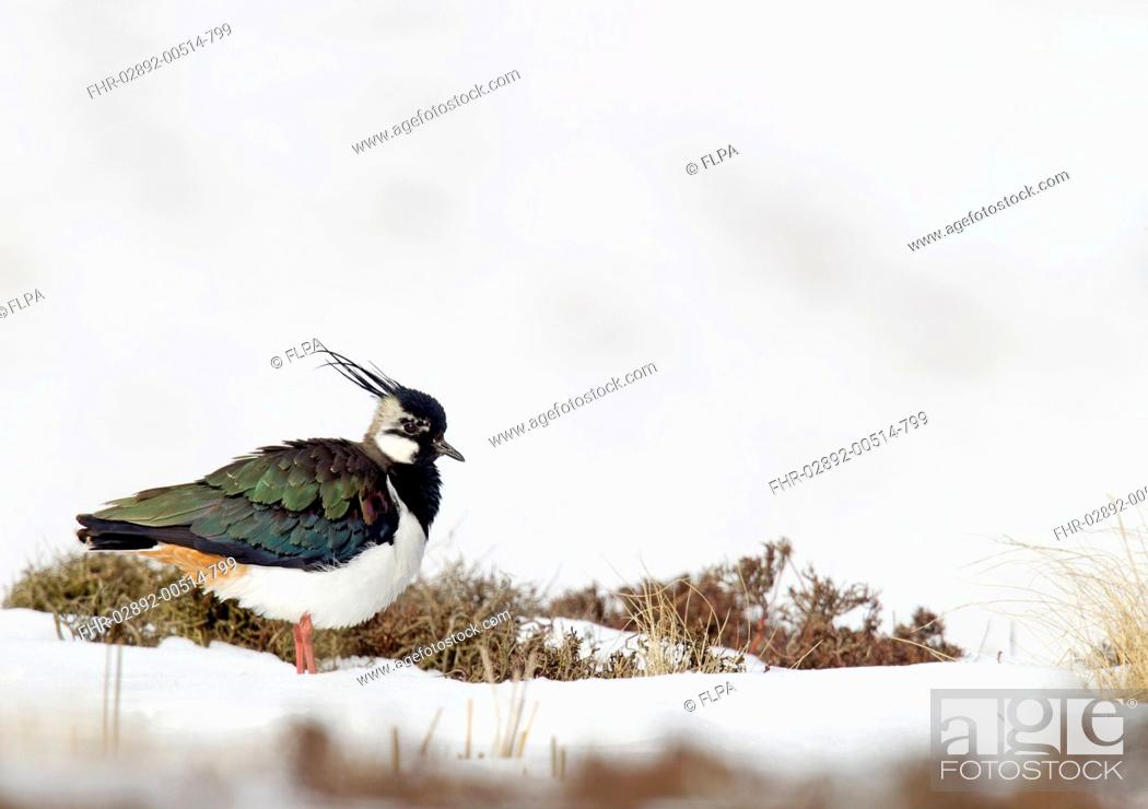Stock Photo: Northern Lapwing (Vanellus vanellus) adult male, breeding plumage, standing on snow covered moorland, Berwickshire, Scottish Borders, Scotland, March.