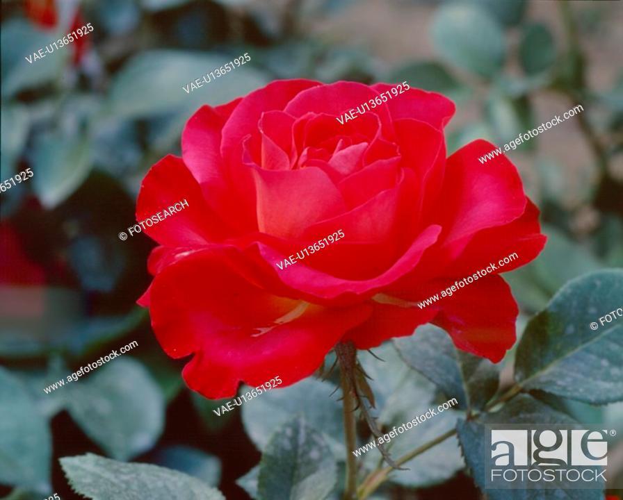 Stock Photo: flowers, nature, flower, closeup, scene, red flower, landscape.