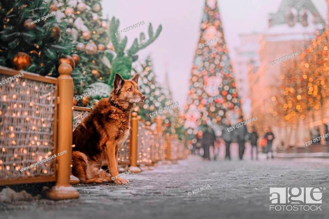 Photo de stock: Chocolate dog sitting on new year's background near dark green tree.