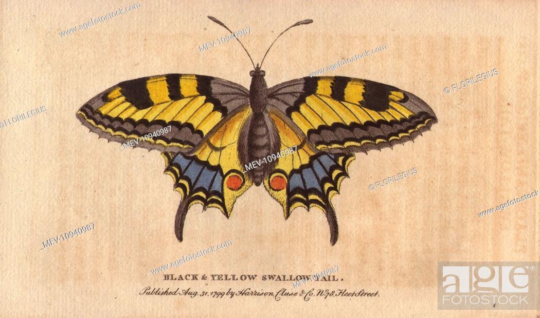 Papilio - Wikipedia | 620x1050