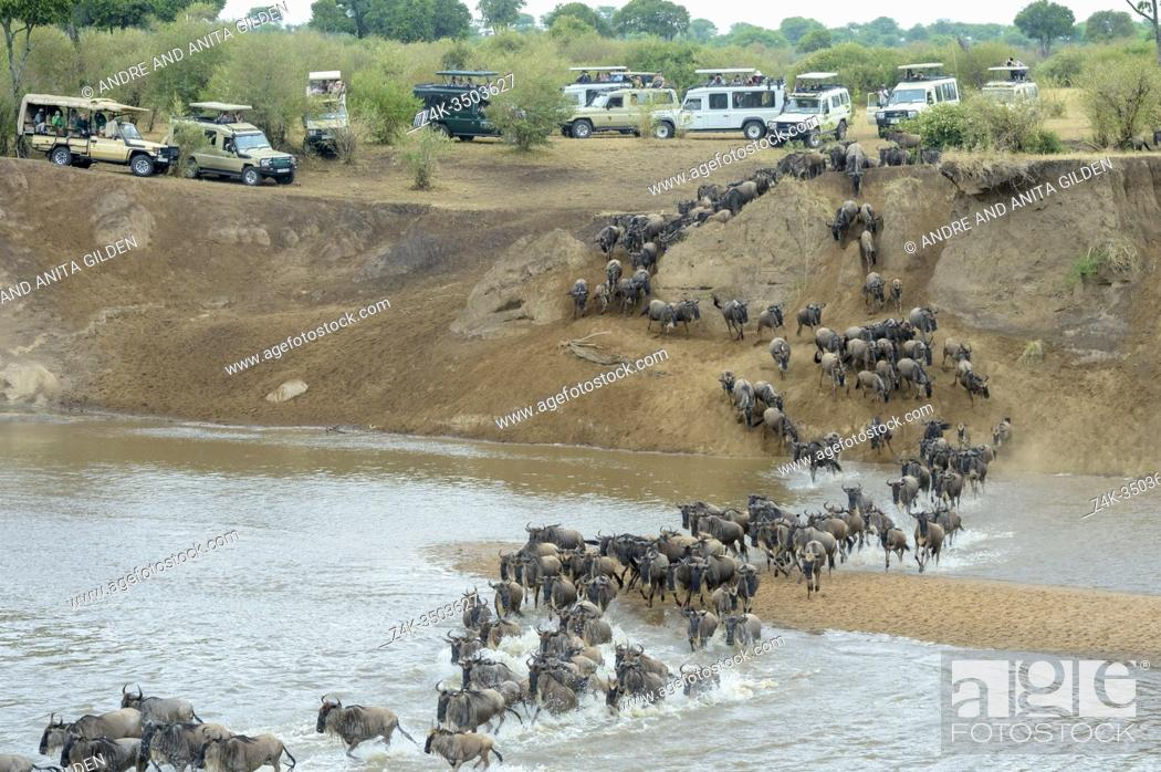 Imagen: Blue wildebeest, brindled gnu (Connochaetes taurinus) herd crossing the Mara river during the great migration, watched by tourists, Serengeti national park.
