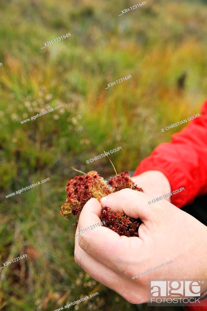Photo de stock: man showing Sphagnum in peat-bog of Bois Noirs, Livradois-Forez Regional Nature Park, Puy-de Dome department, Auvergne region, France, Europe.