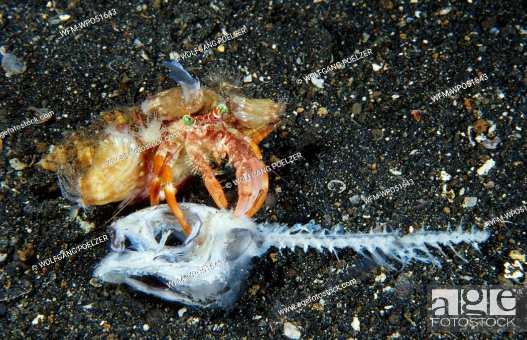 Stock Photo: Hermit crab eating dead Fish, Dardanus pedunculatus, Lembeh Strait, Celebes, Sulawesi, Indonesia.