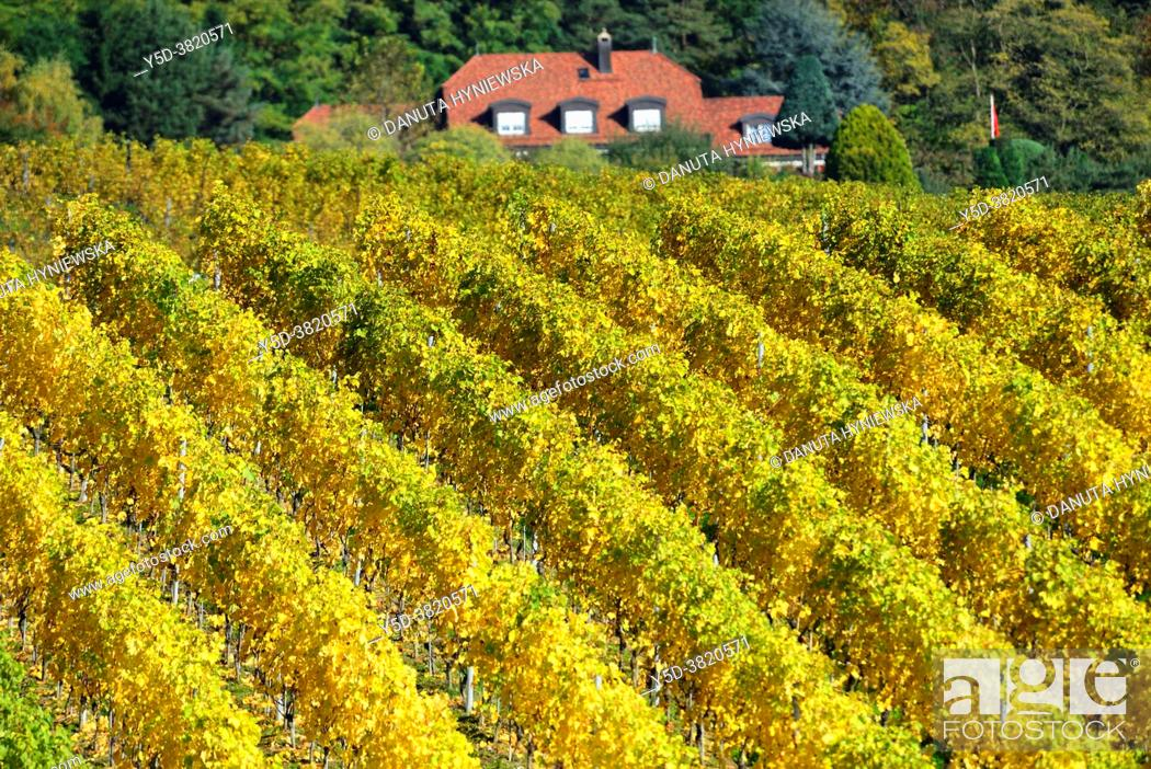 Photo de stock: Patterns in vineyards, vineyards, Mont-sur-Rolle, literally Mont on Rolle, Nyon district, canton Vaud, Switzerland, Europe.