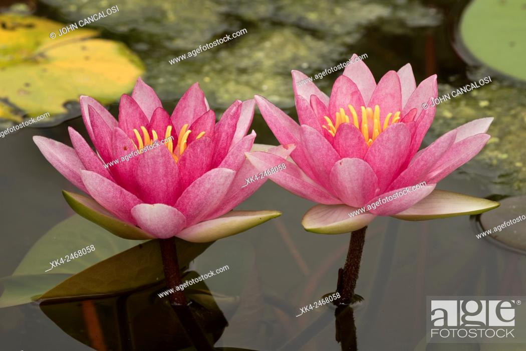 Stock Photo: Hybrid lily, cultivar, Nymphaea spp., Washington, District of Columbia, USA.