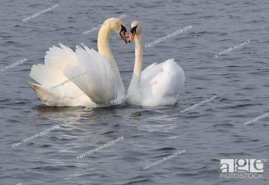 Stock Photo: 19 February 2019, Brandenburg, Müllrose: A pair of hump swans (Cygnus olor) swims on the Großer Müllroser See in the Oder-Spree district.