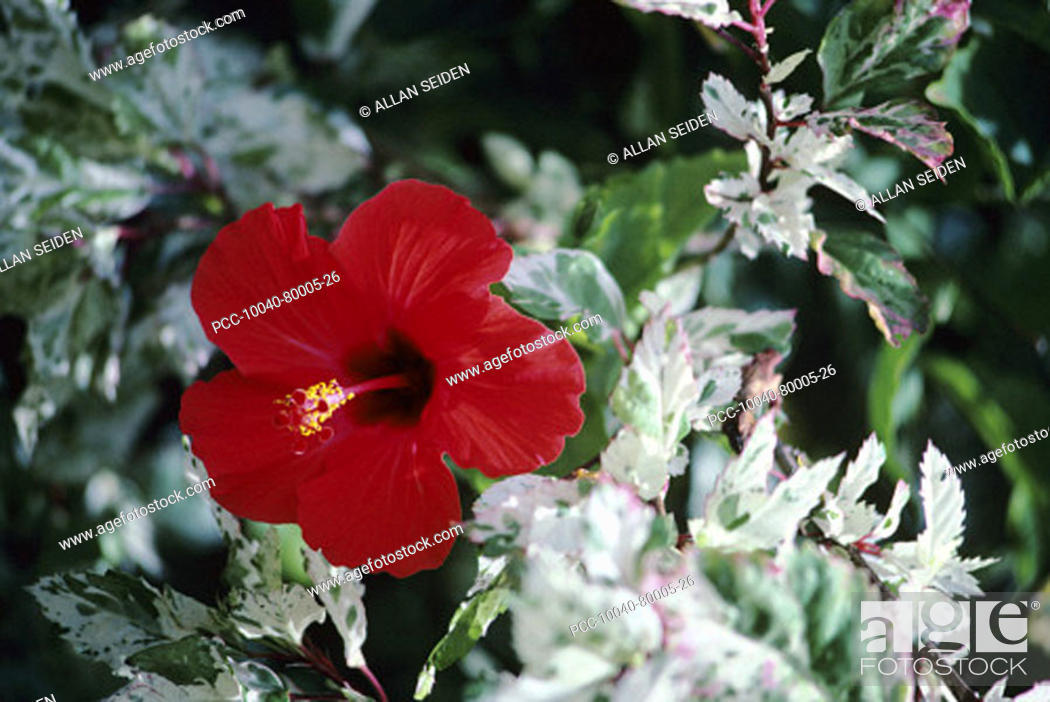 Stock Photo: Close-up of red hibiscus among green and white leaves.