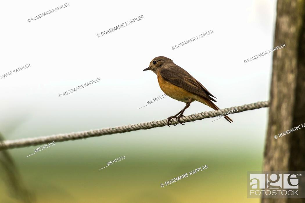 Stock Photo: A common redstart is sittin on his observation point.