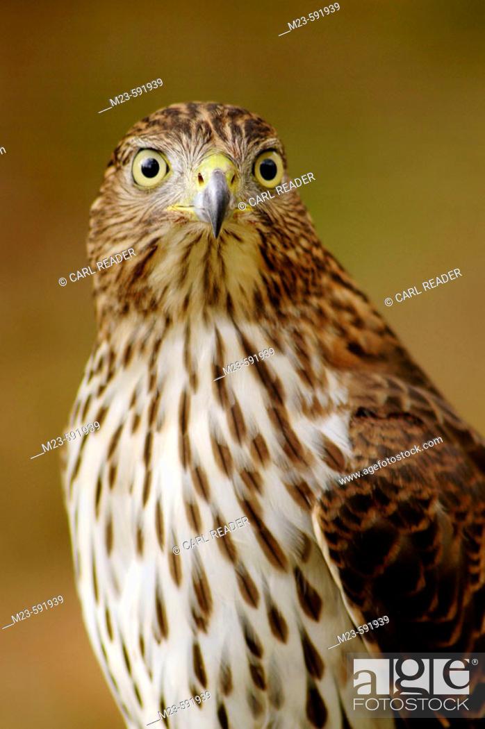 Imagen: A Cooper's hawk, accipter cooperii, poses, Pennsylvania, USA.