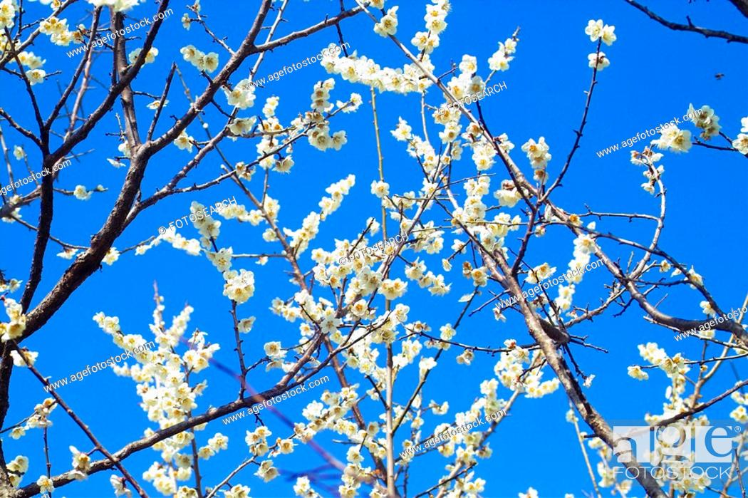 Stock Photo: flower, spring, ume flower, natural world, nature, blooming, plant.