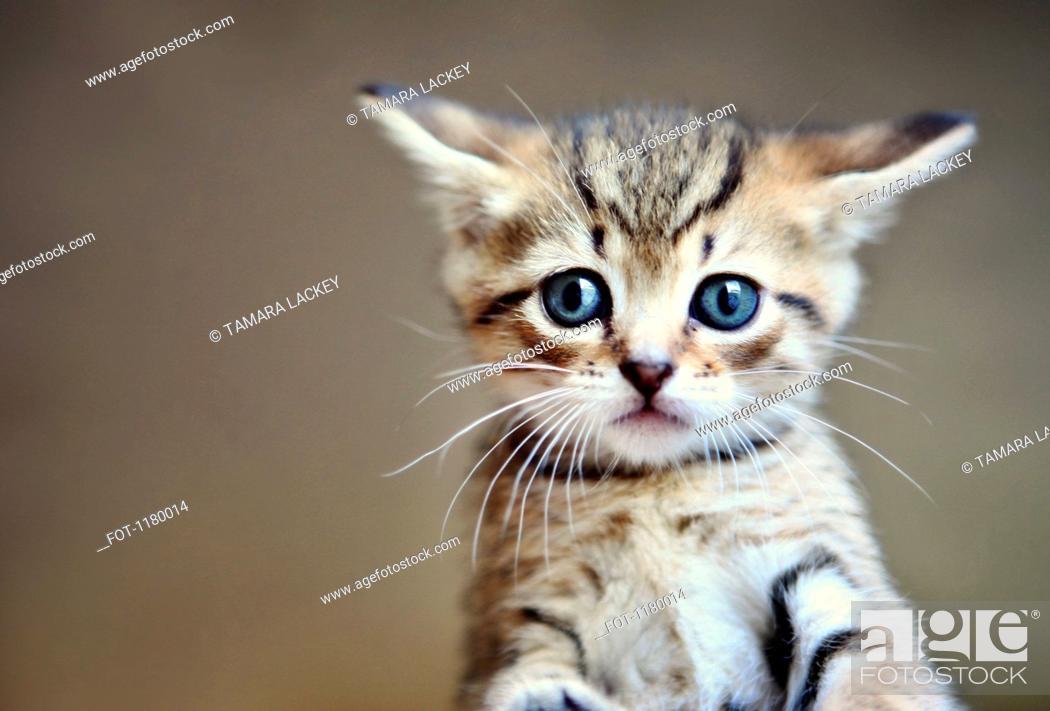 Stock Photo: A little tabby kitten close-up.