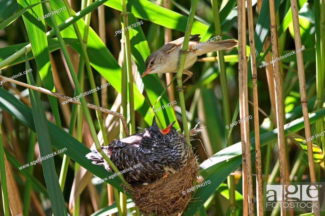 Stock Photo: Common Cuckoo Cuculus canorus - Almelo, Twente, Overijssel, The Netherlands, Holland, Europe.