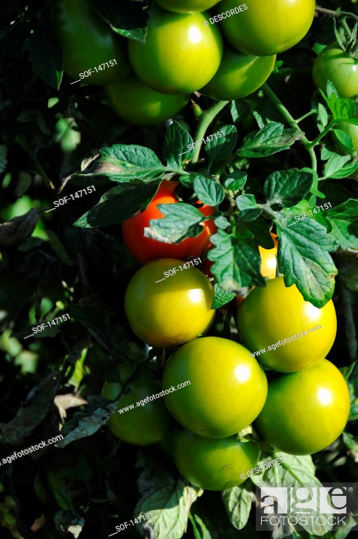 Stock Photo: Tomatoes on the plant.