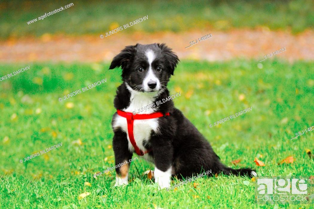 Miniature Australian Shepherd Puppy Sitting On Meadow Stock Photo Picture And Rights Managed Image Pic Ssj 148252 Agefotostock