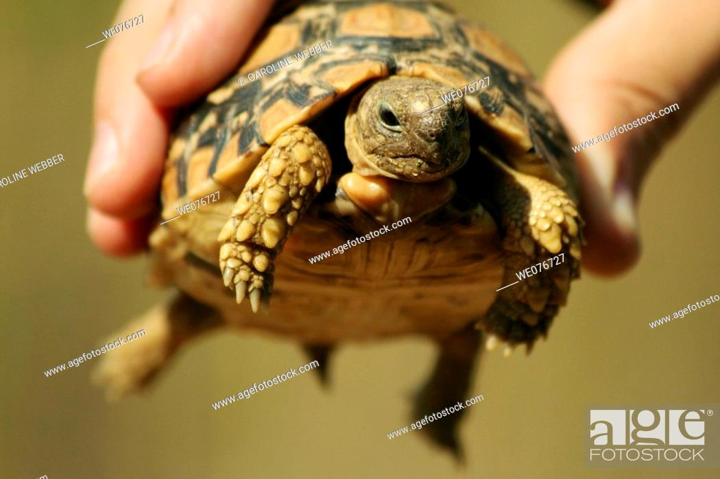 Stock Photo: Leopard Tortoise in Zimbabwe.