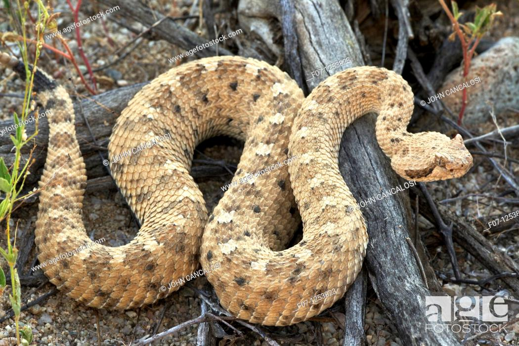 Stock Photo: Sidewinder Crotalus cerates - Sonoran desert - Arizona - Small rattlesnake named for its peculiar sideways locomotion.