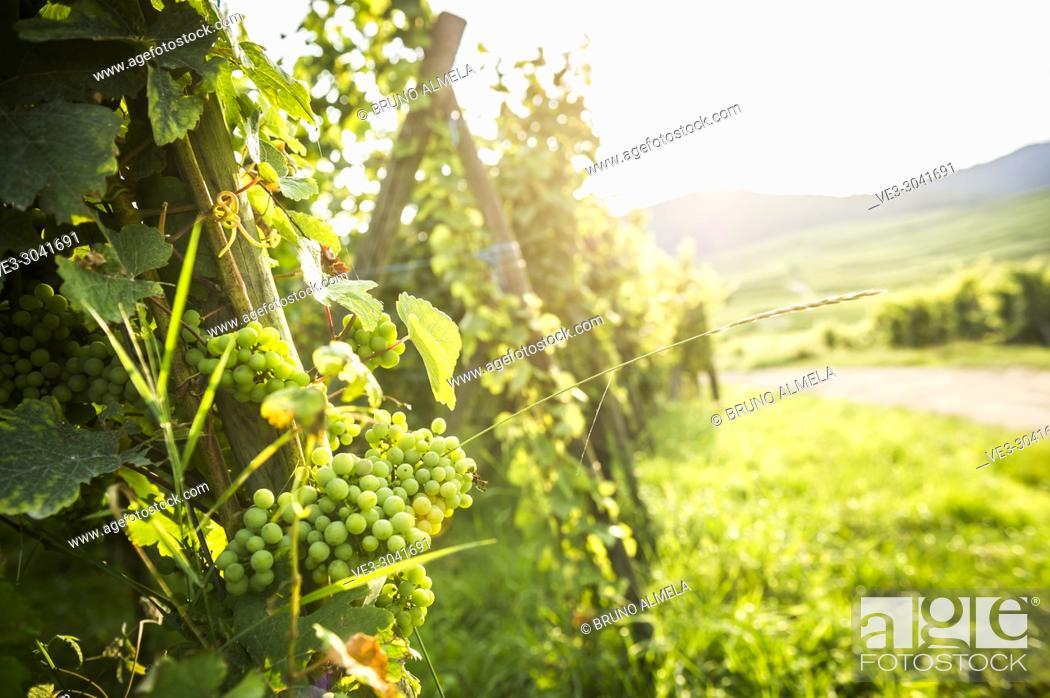 Stock Photo: Grape cluster of Eguisheim vineyards, Alsace (department of Haut-Rhin, region of Grand Est, France).